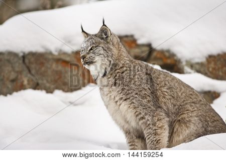 Lynx is looking for hunt. Lynx is looking for hunt. Getting ready for attack. His paws on rock. Lynx is getting ready for preying. His head ears mouth and eyes can seen