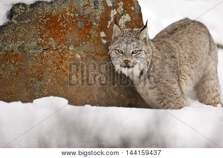 Lynx Is Looking To The Photographer