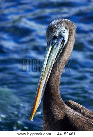 A Pelican in a south pacific seashore