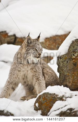 Lynx Is Roaring Angrily