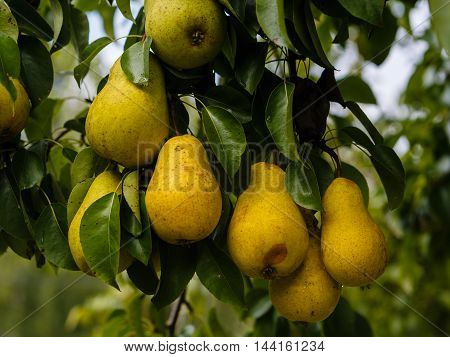 Ripe pears on a branch in an orchard