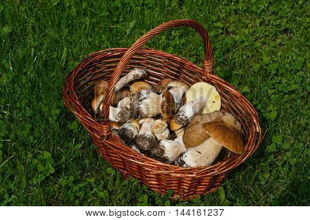 Basket with the gathered mushrooms on a green grass