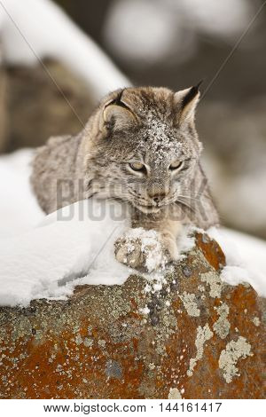 Lynx Is Looking Around For Hunting