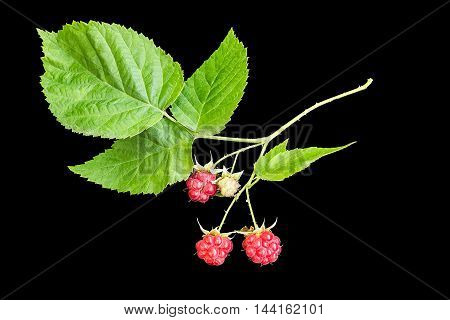 Medicinal plant Rubus idaeus (raspberry also called red raspberry or occasionally as European raspberry) isolated on a black background. Actively used in herbal medicine and healthy eating