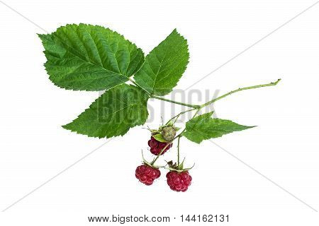 Medicinal plant Rubus idaeus (raspberry red raspberry or occasionally as European raspberry) isolated on a white background. Actively used in herbal medicine and healthy eating