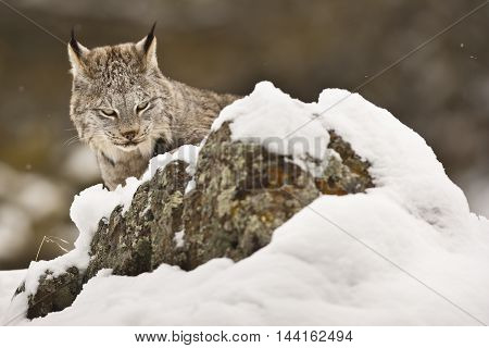 Lynx Is Walking Silently On The Snow.