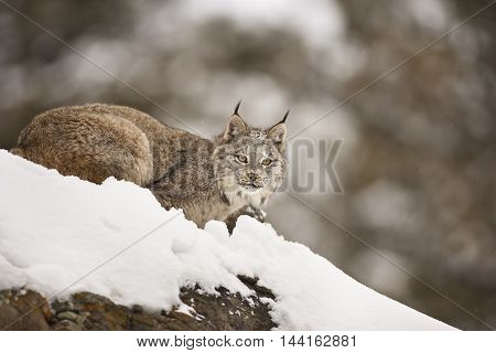 Lynx Is Looking Towards Camera.