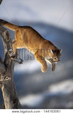 The Mountain Lion Habitat. He Focused On His Hunt.