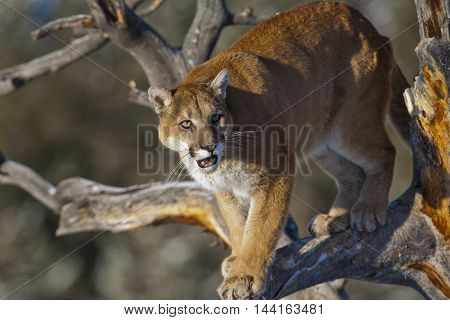 Profile Of The Mountain Lion.