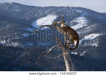 Mountain Lion On Top Of Deadwood.