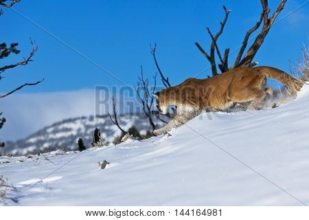 The Mountain Lion Habitat. He Is Attacking For Prey.