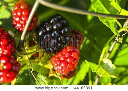 blackberry fruit ripen on a bush in the garden