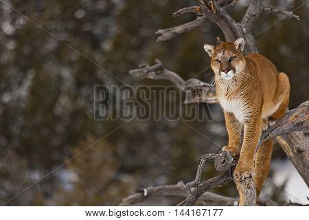 The Mountain Lion Habitat.
