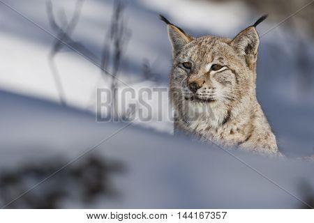 Siberian lynx is looking ahead on snow. He has dark brown stripes. He has long hair on his ears. The Siberian Lynx habitat. Close view of Siberian Lynx. His forelegs on snow.