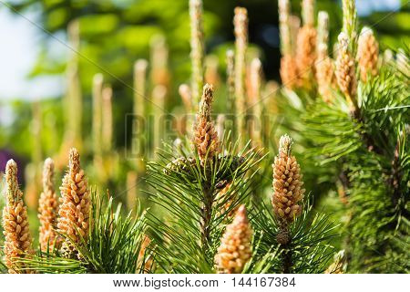 Young shoots on the branches of Mediterranean pine