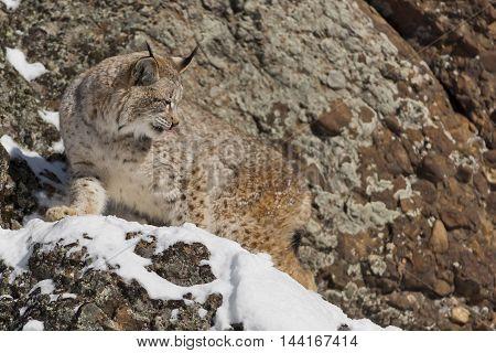 Portrait Of A Siberian Lynx.
