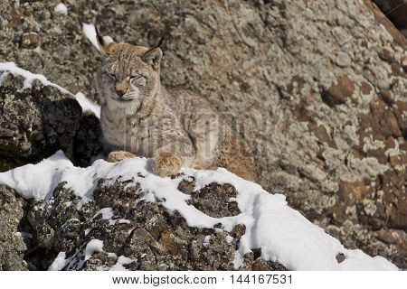 Siberian Lynx Is Standing On Rock.