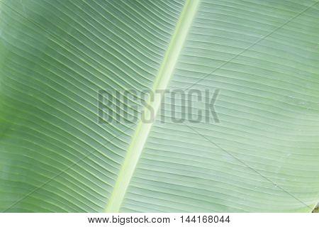 Green bananna macro leaf backgrond. Tropical plant leaf
