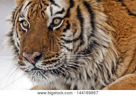 Portrait Of Amur Tiger.
