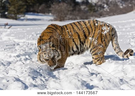 Side view of amur tiger while walking on snow. Amur tiger is walking angrily. Amur tiger is turning back with entire body for hunting.