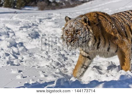 Amur tiger portrait. Amur tiger has stripes and a shade of orange in color. He has a huge body. He is observing carefully for preying. He arose feeling power.  Hearose feeling of strength. He is looking strong, proudly and focus to the target.