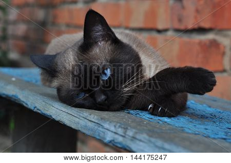 brown blue-eyed Siamese cat lying on a bench and looking sad, tired eyes