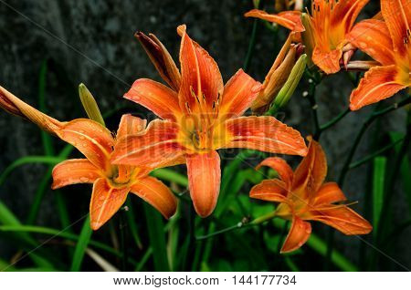 summer orange flower lily with green leaves and drops of rain
