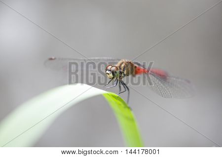 Red dragonfly sits on a grass on a meadow