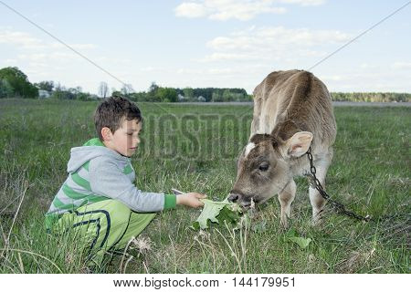In the summer on the little boy feeding a calf grass.