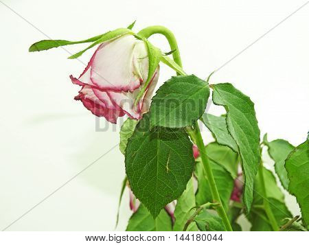 Withered red roses isolated on white background