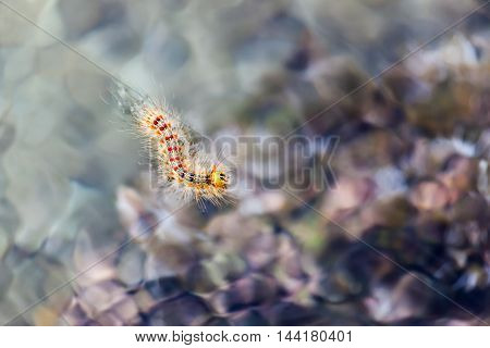 Beautiful gypsy moth caterpillar with red dots in water