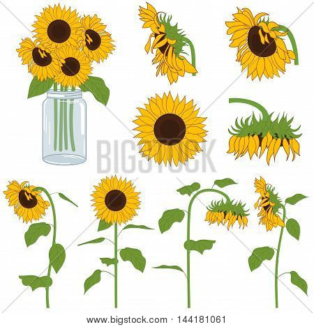 Vector yellow and green hand drawn sunflowers set