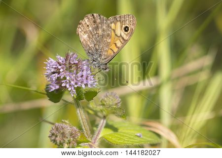 Wall Brown (Lasiommata megera) butterfly extracting nectar from Water Mint (Mentha aquatica) with closed wings