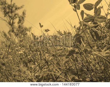 Meadow Grass Sepia