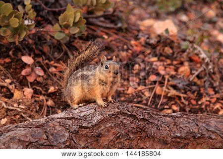 Golden-Mantled Squirrel in Bryce Canyon National Park, Utah
