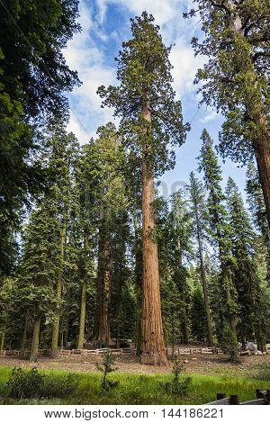 Big Sequoias In Beautiful Sequoia National Park