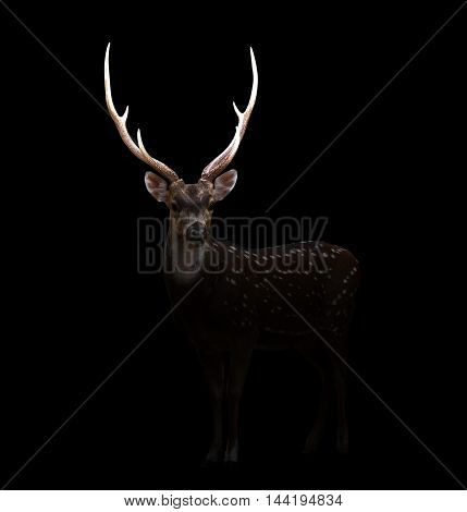 Axis Deer In The Dark