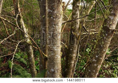 a picture of an exterior Pacific Northwest forest grove of Alder trees in fall