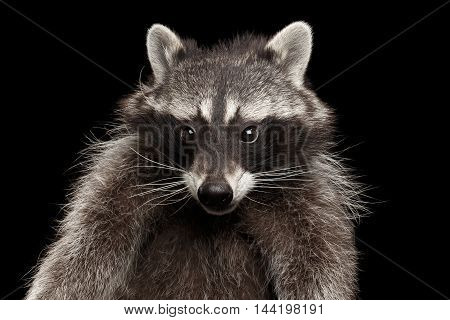 Closeup Portrait of Funny Raccoon Curious Looks isolated on Black Background, Front view