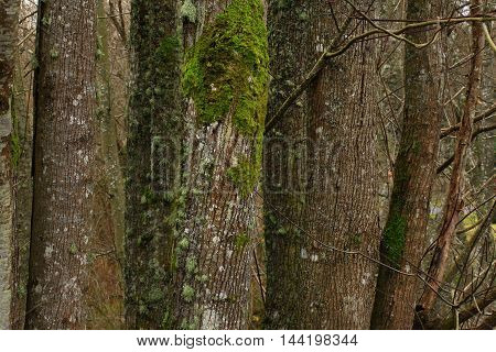 a picture of an exterior Pacific Northwest forest of Vine maple trees in winter