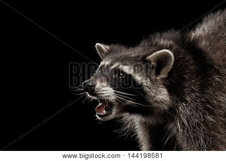 Closeup Portrait of Funny Raccoon Curious Looks and opened mouth isolated on Black Background, Side view