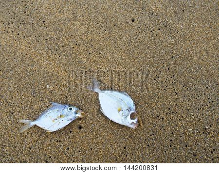 Dead fish on sand of sand beach