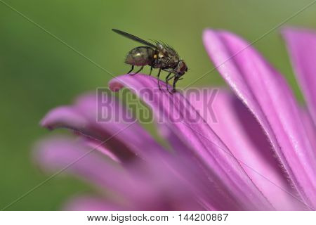 insect (fly) sitting on a flower petal
