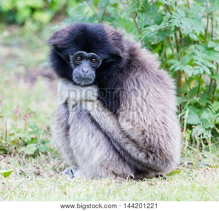 Adult White Handed Gibbon