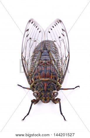 cicada insect isolated on white background bug