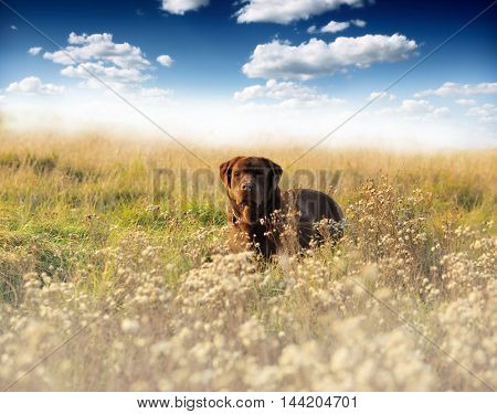 Young labrador in foggy field