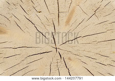 Cross section of tree trunk. Tree trunk wood texture
