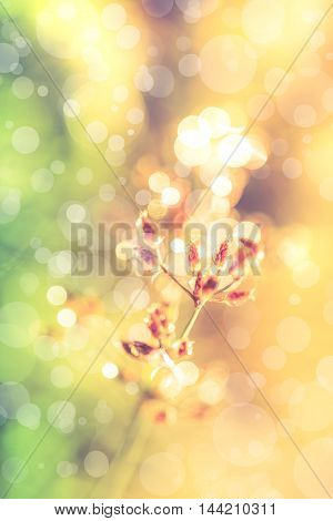 Closeup of beautiful poaceae with dew on nature blurred bokeh background. Abstract nature background. Fresh flower on defocused light with bright sunlight. Outdoor at summer time. Vintage tone effect.