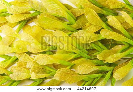 Seeds maple trees ash bunch, natural background.