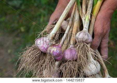 Organic garlic bulbs gathered at ecological farm in old farmer's dirty hands. Harvest at agricultural production business. Natural healthy food outdoors in field